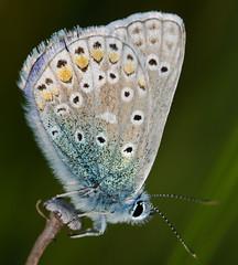 DSC_2714 (stewart charnock) Tags: blue macro butterfly nikon sigma oxmoor d7000