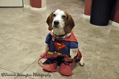 Costume 67/365 (Beneath Night's Cloak) Tags: beagle project costume nikon poetry photographic superman 365 d90