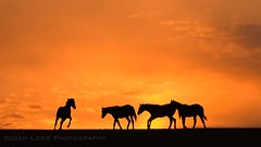 """Sunset Silhouettes"" (the_lowe_life) Tags: winter golden bluegrassstate color throughbred explore dusk vibrant orange sun farm glow d7200 nikon kentucky goldenhour sunset horse silhouette"