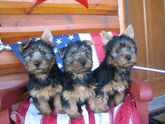 Teddy, Jazz and Dori 10 Weeks Old and Patriotic!