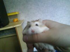 Mobile phone photos055 (ikieran97) Tags: hamsters jotoh