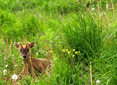 Muntjac in the Fens (saxonfenken) Tags: 20thoverfield muntjac barkingdeer animal fens england cambs e510 may2009 pregamewinner 120 friendlychallenges tcfunam 120animal