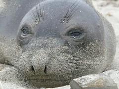 P1190553 (armadil) Tags: elephantseal babyelephantseal california beach californiabeaches mavericks whiskers marinemammals naturesfinest mywinners beaches 052405 052409 mav052409