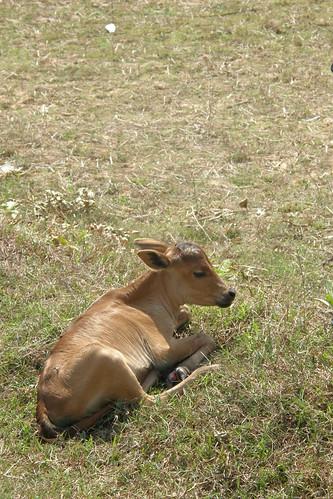 078.剛出生沒多久的小牛