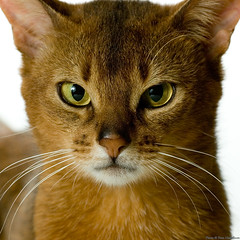 Tonto 2 (peter_hasselbom) Tags: portrait cats male face cat eyes head flash usual abyssinian onwhite 2yearsold twoyearsold fertile 105mm ruddy cc100 boc0609