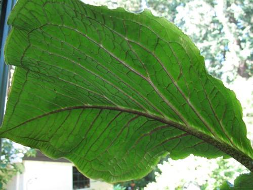 arisaema leaf(jack in the pulpit)