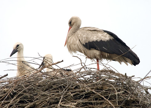 White Stork with its kids