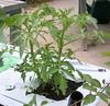 Principe Borghese in June (kytelae) Tags: garden tomato 2009 hierloom earthbox principeborghese