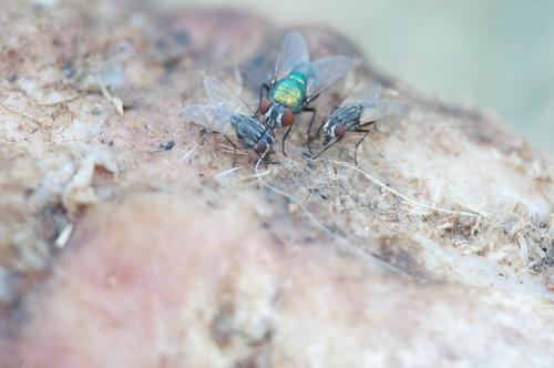 mosca de mierda