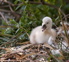 Baby #3 (Eyesplash - the new slow way) Tags: baby cute swan infant soft child nest little fuzzy feathers cygnet adorable down newborn baby3 squawk vosplusbellesphotos musicsbest highestexplore15 muyeswan