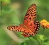 Una bella farfalla (iCamPix.Net) Tags: flower canon butterfly 109 markiii1ds argynnispaphiaarginnide