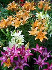 Lilyland (AGreatEuropeTripPlanner!) Tags: flowers chicago flores nature gardens fleurs illinois blumen lilies fiori fiore bloemen artinstitute daylilies stargazerlilies blhen goldheart clck bloeien florecen florescem thepoweroftheflower wonderfulworldofflowers grouptripod nossasflores