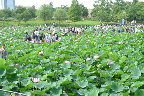 lotus field in gyoda city