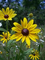 Black Eyed Susans (kimve) Tags: yellow wildflower blackeyedsusan