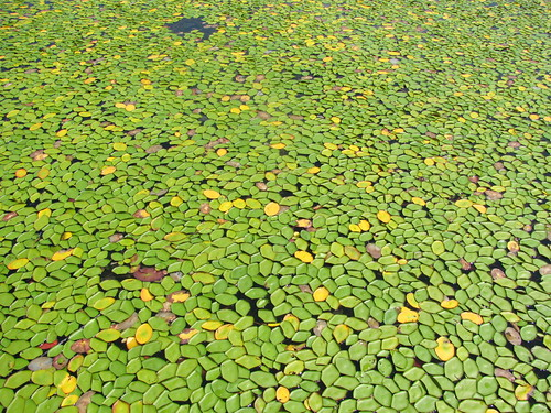 Lily pads on Lake Jackson