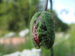A drooping poppy bud...slowly opening