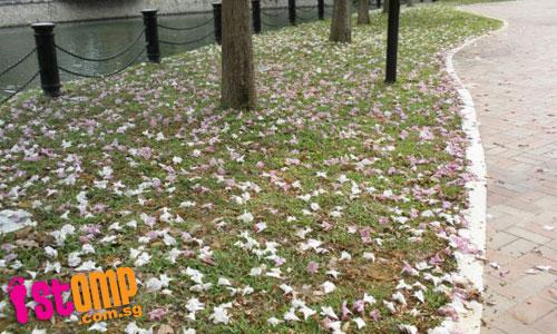 Banks of S'pore River covered in beautiful sakura-like petals