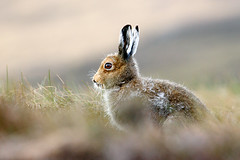 Highland Dawn 2 (Chris Sharratt) Tags: animal eyes hare potofgold naturesfinest mountainhare lepustimidus bluehare anawesomeshot may2009 highlanddawn chrissharratt