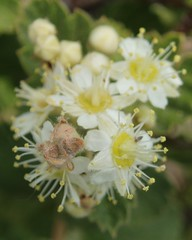 Small-Leaved Creambush