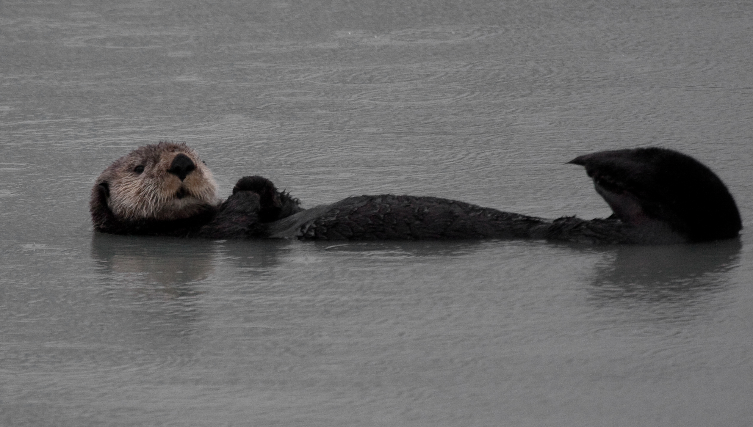 What do otters sound like || |a labeled diagram of a sea otter| Otter Sounds