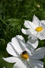 Parc Floral - Vincennes-63 (MissDogo) Tags: paris macro fleur closeup animaux parc insectes vincennes parcfloral bourdon proxyphoto hym hyménoptères hymnoptres