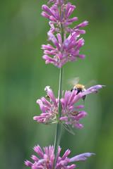 Parc Floral - Vincennes-67 (MissDogo) Tags: paris macro fleur closeup animaux parc insectes vincennes parcfloral bourdon proxyphoto hym hyménoptères hymnoptres
