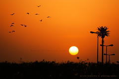 waiting for the break of day (alvin lamucho ) Tags: morning orange sun birds silhouette yellow tangerine sunrise golden early warm gulf middleeast palmtree kuwait bushes lightposts daybreak lampposts 530am breakofday canon450d 527am rebelxsi alvinlamucho