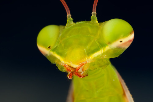 Praying Mantis Portrait #1