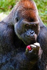 You want this apple? Come and Get It!! (HisPhotographs.com) Tags: atlanta portrait apple photoshop canon zoo gorilla bokeh eating expression adobe smirk 500mm tamron facial lightroom cs3 50d 200500mm