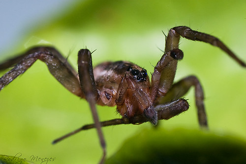 Male Ctenidae Portrait