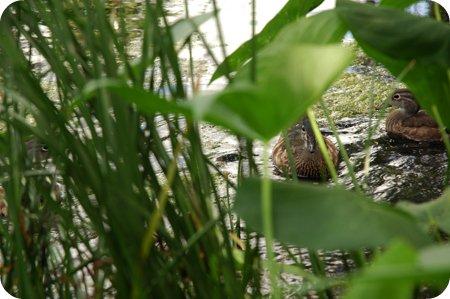 Wood Ducks near Dow's Lake