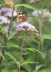 Vlinder op bloem (SuperCarFreak) Tags: park flower holland nature canon insect eos nederland natuur limburg valkenburg vlinder bloem kleuren ef70200 40d supercarfreak