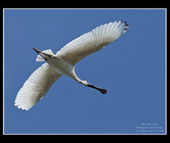 Black-faced Spoonbill (Rey Sta. Ana) Tags: wild bird heron birds photography bay ana philippines ducks rail kites manila rey birdsinflight subic coron eagles waders sta waterbirds bif palawan sunbird philippine bestshots ternate mantarey coucals candaba avianphotography philippinebirds reysa bestimages philippinebirdphotography reystaana