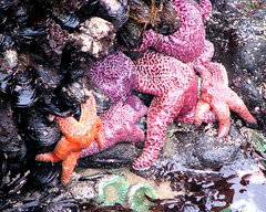 Starfish (dullshick) Tags: sea west water muscles outdoors coast natural pacific starfish shell oregoncoast tidepools tidal seaanemone capeperpetuascenicarea