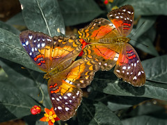 4 wings (spettacolopuro) Tags: red wild orange brown plant macro verde green art texture nature beauty animal yellow closeup contrast forest butterfly bug hair insect fun cool interesting fantastic wings nikon close head pair wing twin insects natura grace best petal ali ala antenne antenna outofthisworld coppia insetti outstanding elegance insecto petalo testa captivating insecta macrofotografia topshot andrearossi p5000 beautifulred specanimal colorphotoaward faralla thesuperbmasterpiece spettacolopuro dressedinorange