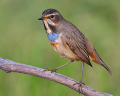 Pisco-de-peito-azul / Bluethroat (Antnio Guerra) Tags: nature birds wildlife natureza birdsinportugal avesemportugal aves digiscoping birdwatching vidaselvagem bluethroat lusciniasvecica piscodepeitoazul specanimal avianexcellence birdqualityonlyclub peregrino27newvision