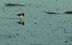 Beachcomber (sarniebill1) Tags: copyright beach scotland sand fife full oystercatcher oysters lowtide oyster pleasure waders seabird burntisland wader sarniebill2 sarniebill1 nigelwedge