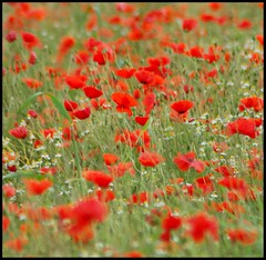 Lay with me... (Levels Nature) Tags: uk red england flower nature field somerset poppy poppies wildflowers chedzoy natureselegantshots seenonflickr vanagram saariysqualitypictures