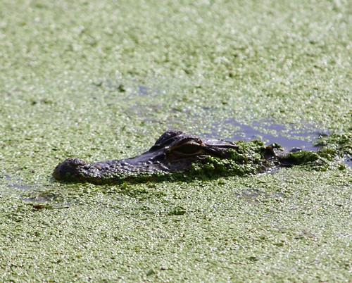 Lurking baby gator