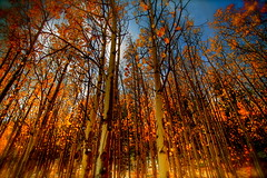 Aspen Grove (TVGuy) Tags: autumn orange sun tree fall nature leaves yellow canon leaf colorado aspens aspen denverco