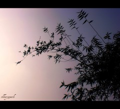 Whisper... (chhayapath :-)) Tags: blue sky black color tree colors leaves mystery forest evening leaf whisper day branch violet bamboo jungle end sihouette bangladesh bangla chhayapath