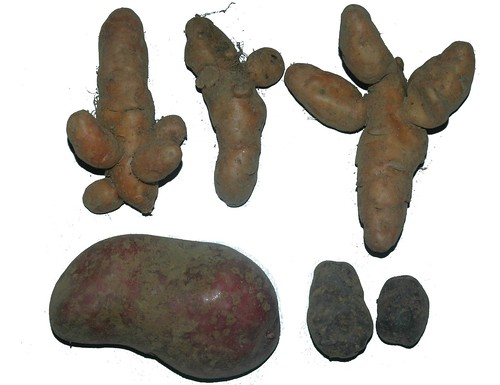 Ratte cultivar (top), Rubby (bottom left) and Vitelotte noire (bottom right)