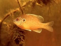 Freshwater Sunfish in Aquarium (1975) by Hunter-Desportes, on Flickr