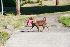 Goose-stepping Puppy (Palmer Digital Studio) Tags: dog pet baby brown home halloween puppy toy mix day chocolate tag first vizsla canine goose step weimaraner german chew bandana pooch hungarian