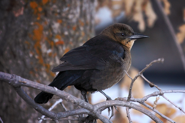 101609_brownHeadedCowbird