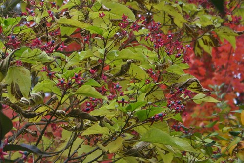 Fall approaches: Harlequin Glorybower