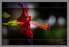 Hibisco (scarabaeus sacer) Tags: flowers plants flores plantas 2009 almería gorrión platinumheartaward a3b nikond300 jatm64 hibiscuswonder