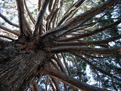 majestic cedar pine