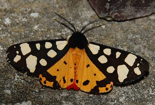Cream-spot Tiger Arctia villica