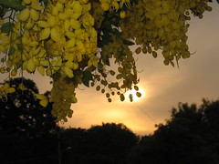 yellow against orange setting sun (vakrathundam2000) Tags: kanikonna sarakondrai bandarlathi